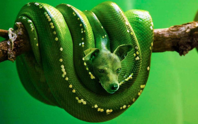 Cross between a  a snake and terrier – The Green Bark Python. (Photo by Sarah DeRemer/Caters News)