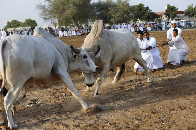 Men pull a rope to stop two bulls from locking horns during a bullfight in the eastern emirate of Fujairah October 17, 2014. (Photo by Ahmed Jadallah/Reuters)