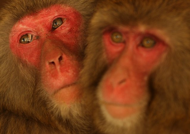 A 14-year-old Japanese macaque monkey named peacock(L) looks on as her eyes water while suffering an allergy to pollen from the cedar tree at Awajishima Monkey Centre on March 17, 2013 in Sumoto, Japan. Many monkeys are suffering the effects of hay fever at this time of the year, with the typical symptoms being the same as with humans.  According to Awajishima Monkey center this year hay fever is higher than last year, the pollen season is from February to April.  (Photo by Buddhika Weerasinghe)