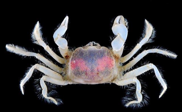 Sluggish mud crab (Chasmocarcinops gelasimoides); CMBS, Singapore. (Arthur Anker)