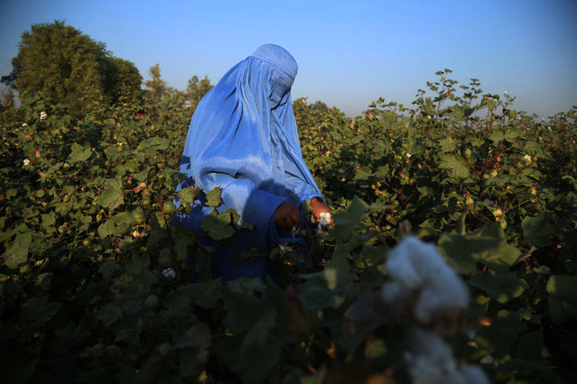 An Afghan woman collects cotton buds at governmental farms in Jalalabad, Afghanistan, 20 October 2020. Afghanistan's agriculture and livestock department in Nangarhar province hire women and people in need of cash assistance to harvest cotton from their farms. (Photo by Ghulamullah Habibi/EPA/EFE)