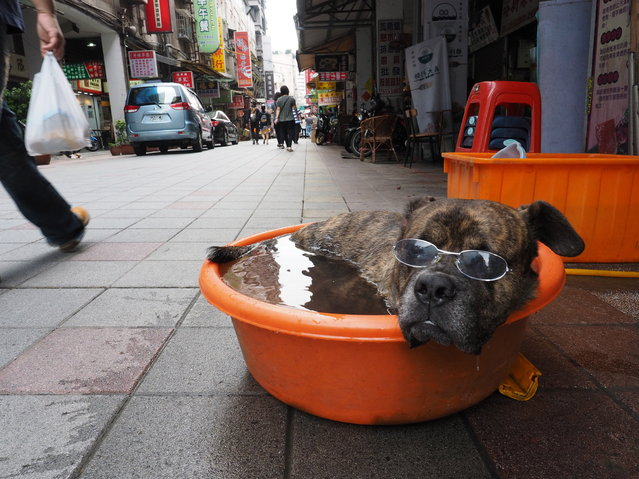 A dog sits in a plastic basin filled with water in Taipei, Taiwan, 05 May 2018. Betel nut seller Mr Luo, the dog's owner, said he puts his dog Ah Dai (Stupid Guy) in the water-filled basin whenever the weather get hot. Luo has a dozen pairs of glasses for Ah Dai, so the dog wears different glasses every day and many tourists take photos of Ah Dai. (Photo by David Chang/EPA/EFE)