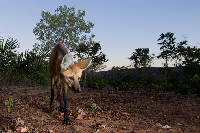 The maned wolf is among the large mammals in the Brazilian Cerrado that are threatened by the increasing conversion of grasslands into farmland for grazing and growing crops. (Photo by Ben Cranke/Nature Picture Library/Alamy Stock Photo)