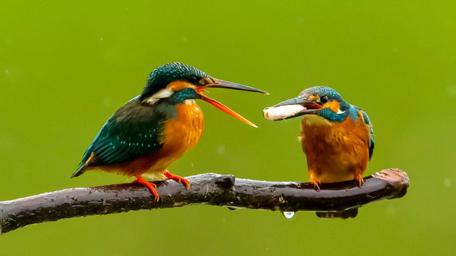 Two kingfishers are seen on a branch in Xindian Town, Fuzhou City, southeast China's Fujian Province on April 11, 2020. (Photo by Xinhua News Agency/Rex Features/Shutterstock)