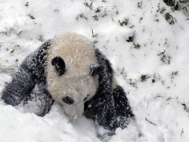 Sixteen-month-old Giant panda cub Bao Bao plays in the snow for the first time at the Smithsonian's National Zoo as a winter storm hits Washington January 6, 2015.  The storm was part of a bitter cold snap freezing most of the eastern half of the United States, driving the mercury below zero in the Midwest, with possible freezing temperatures as far south as Atlanta later this week, forecasters said. (Photo by Devin Murphy/Reuters/Smithsonian's National Zoo)