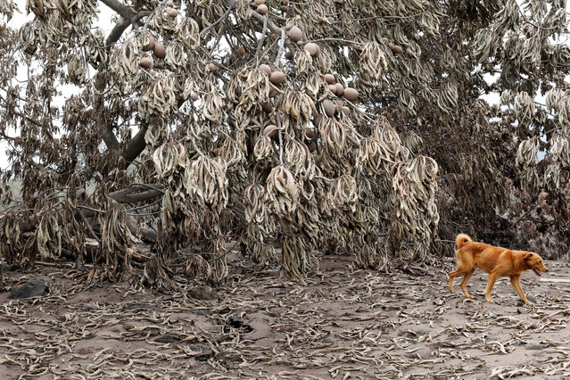 A dog walks past trees covered with ash after the eruption of the Fuego volcano in San Miguel Los Lotes in Escuintla, Guatemala, June 8, 2018. (Photo by Carlos Jasso/Reuters)