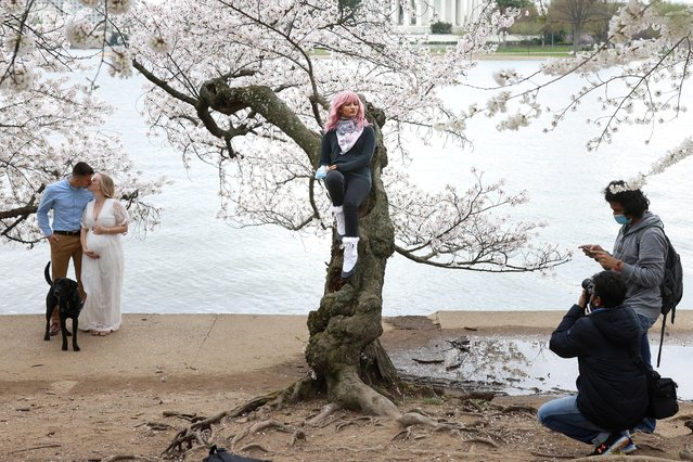 Priyanka Kaswan poses for a photo while sitting on a cherry tree at the Tidal Basin near the National Mall in Washington, U.S., March 31, 2021. (Photo by Tom Brenner/Reuters)