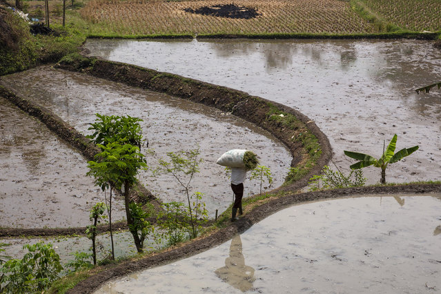 A farmer walks along his rice paddy which sits along a heavily polluted tributary of the Citarum river on August 27, 2018 outside Bandung, Java, Indonesia. (Photo by Ed Wray/Getty Images)