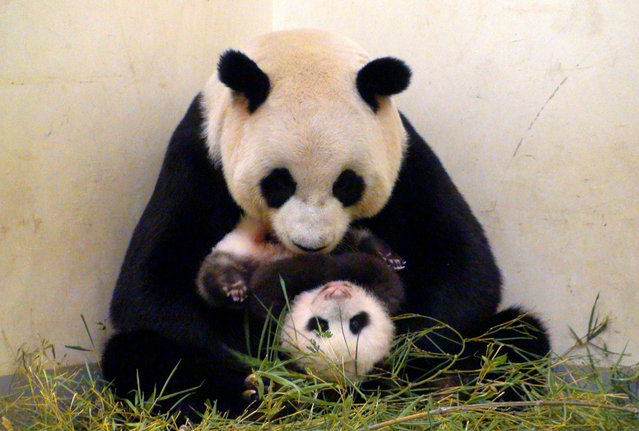 This undated handout photograph released by the Taipei City Zoo on  September 26, 2013 shows giant panda Yuan Yuan holding her baby panda, Yuan Zai, at the Taipei City Zoo. The cub, the first panda born in Taiwan, was delivered on July 7 following a series of artificial insemination sessions after her parents – Yuan Yuan and her partner Tuan Tuan – failed to conceive naturally. (Photo by AFP Photo/Taipei City Zoo)