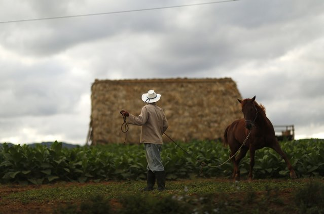 A farmer trains a racehorse on a tobacco plantation in the valley of Vinales, in the western Cuban province of Pinar del Rio, January 27, 2015. (Photo by Pilar Olivares/Reuters)