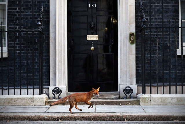 A fox runs in front of 10 Downing Street on March 30, 2015 in London, England. Campaigning in what is predicted to be Britain's closest national election in decades will start after Queen Elizabeth II dissolves Parliament today. (Photo by Carl Court/Getty Images)