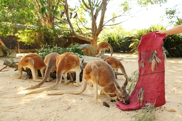 Kangaroos inspect a Christmas stocking at Taronga Zoo on December 20, 2013 in Sydney, Australia. Animals received Christmas themed treats and puzzles as part of Christmas festivities. (Photo by Brendon Thorne/Getty Images)