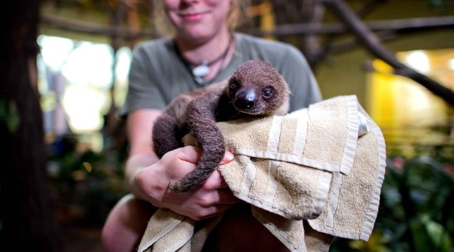 Keeper Stefanie Silbermann carefully weighs a baby sloth that was born on 04 September 2013 during the annual inventory at the zoo in Dresden, Germany, 16 January 2014. All of the zoo's residents are examined and catalogued carefully every year. The sloth weighed 1,400 grams. (Photo by Arno Burgi/AFP Photo/DPA)