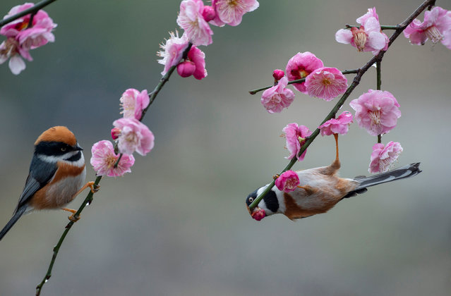Black-throated tits gather around plum blossoms at a plum garden in Wuxi, east China's Jiangsu province. (Photo by Pan Zhengguang/AFP Photo/Xinhua News Agency/Barcroft Images)