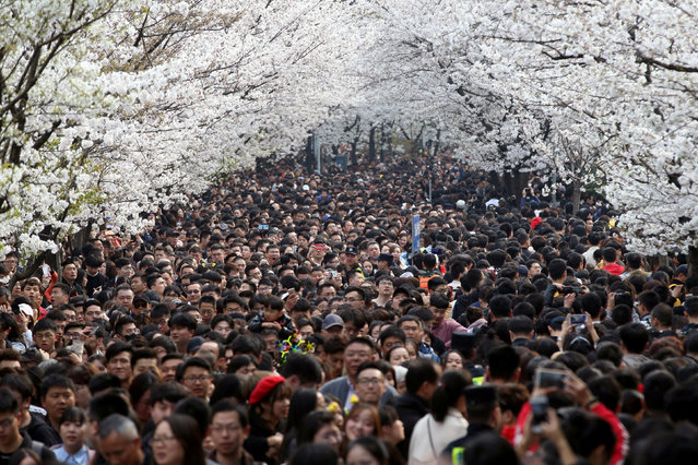 Visitors flock to the road in front of the Jiming Temple to view the cherry blossoms in Nanjing city, east China's Jiangsu province, 23 March 2019. The 400-meter-long road in front of the Jiming Temple become a hot spot in Nanjing every spring, as visitors from all over the country come to appreciate the blooming cherry blossoms along the road. (Photo by Reuters/China Stringer Network)