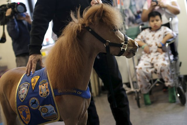 Handler Jorge Garcia-Bengochea holds Honor, a miniature therapy horse from Gentle Carousel Miniature Therapy Horses, as they visit with patients at the Kravis Children's Hospital at Mount Sinai in the Manhattan borough of New York City, March 16, 2016. (Photo by Mike Segar/Reuters)
