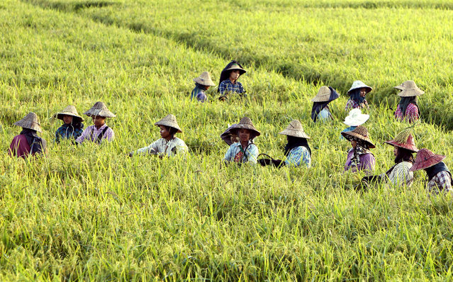 Farmers tend paddy fields just a few weeks ahead of harvesting in Naypyidaw, Myanmar, Wednesday, November14, 2018. (Photo by Aung Shine Oo/AP Photo)