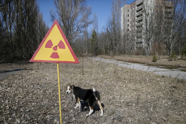A dog is seen in the abandoned city of Pripyat near the Chernobyl nuclear power plant in Ukraine on March 28, 2016. (Photo by Gleb Garanich/Reuters)
