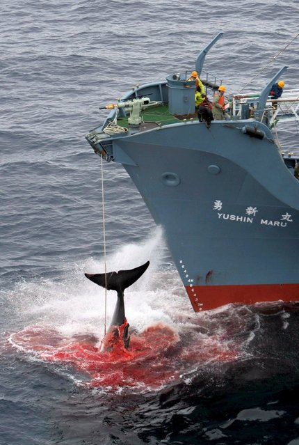 A file photograph dated 07 January 2006 and released by Greenpeace, showing the Yushin Maru, a factory ship in a Japanese whaling fleet, injuring a whale with it's first harpoon attempt. A UN court in The Hague on 31 March 2014 halted Japan's much-criticized whaling programme, ruling that it contravenes a 1986 moratorium on whale hunting. Japan must end its 'research whaling' programme, the International Court of Justice (ICJ) said. (Photo by Kate Davison/EPA)