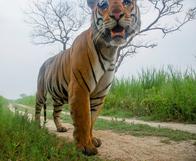 A wild tiger is caught walking along the track in Terai belt of the Dudhwa Tiger Reserve in March 2017, Uttar Pradesh, India. (Photo by Shivang Mehta/Barcroft Images)