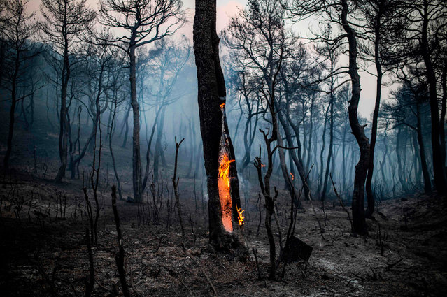 The trunk of a tree burns following a wildfire near the village of Makrimalli on the island of Evia, northeast of Athens, on August 14, 2019. Hundreds of villagers were evacuated on August 13 and the Greek prime minister cancelled a vacation as scores of firefighters battled a major wildfire on the country's second-largest island of Evia, authorities said. (Photo by Angelos Tzortzinis/AFP Photo)