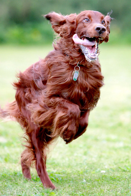 A Red Setter. (Photo by Nick Ridley Photography/Caters News Agency)