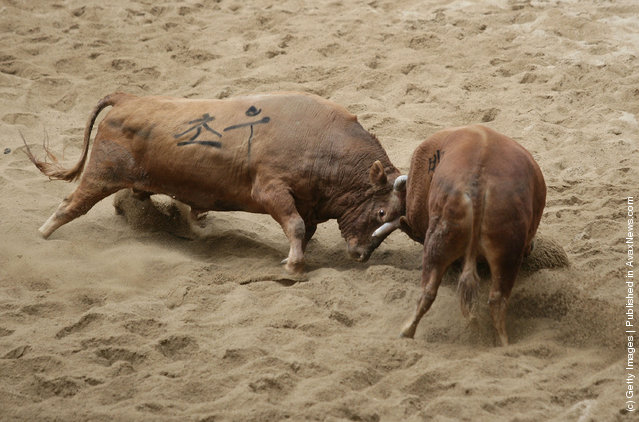 Cheongdo Bullfighting Festival