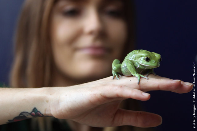 A Waxy Tree Frog rests on a zookeeper's hand during a photocall to promote London Zoo's annual stock take of animals