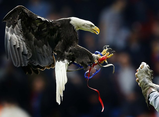Crystal Palace's mascot Kayla, a North American Bald Eagle, flies in the stadium to entertain fans ahead of the English Premier League soccer match between Crystal Palace and Manchester City at Selhurst Park stadium in London, on March 27, 2014. (Photo by Kirsty Wigglesworth/Associated Press)