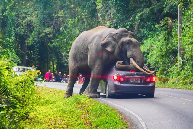 In this photo taken on October 29, 2019, a wild elephant stops a car on a road at Khao Yai National Park in Thailand's Nakhon Ratchasima province. The driver escaped unhurt with his car slightly damaged. (Photo by Pratya Chutipaskul/AFP Photo)