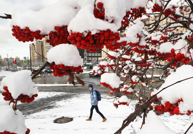 A girl walks past a snow covered rowanberry tree in St.Petersburg, Russia, Tuesday, October 29, 2019. North wind brought first snow to the St.Petersburg region. (Photo by Dmitri Lovetsky/AP Photo)