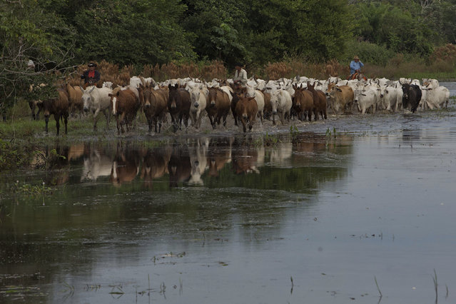 In this May 18, 2017 photo, cowboys guide the herd to the Taquari River, in Corumba, Mato Grosso do Sul state, Brazil. The crossing of the river with 520 oxen requires all the skill the cowboys have amassed in decades of experience. (Photo by Eraldo Peres/AP Photo)