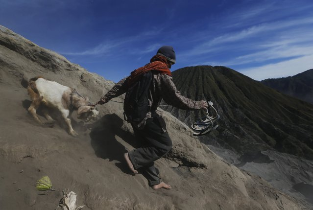 A man leads a goat down the slope of the mountain after managing to catch it from Hindu worshippers, who attempted to throw it into the crater as an offering, during the Kasada Festival at Mount Bromo in Probolinggo, Indonesia's East Java province, August 1, 2015. (Photo by Reuters/Beawiharta)