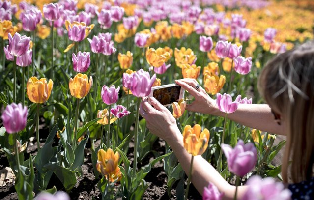 A woman takes pictures of tulips at Commissioner's Park during the Canadian Tulip Festival on Sunday, May 17, 2015 in Ottawa, Ontario. (Photo by Justin Tang/The Canadian Press via AP Photo)