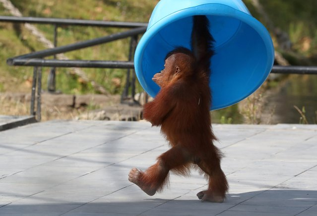 Three-year-old orangutan from Sumatra, Berani, is pictured at the Pairi Daiza wildlife park, zoo and botanical garden in Brugelette, Belgium on August 2, 2019. (Photo by Yves Herman/Reuters)