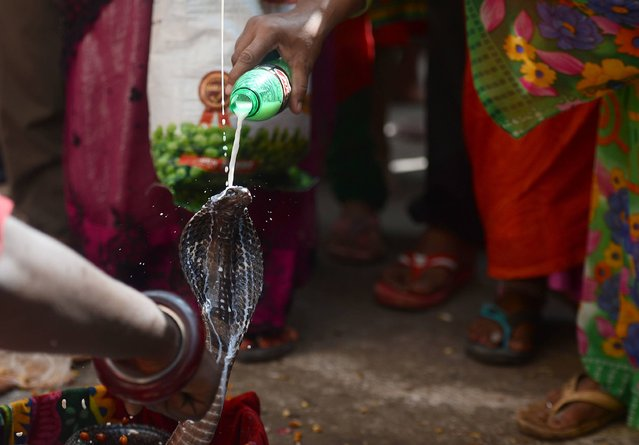 An Indian Hindu devotee pours milk on a snake as an offering during the annual Nag Panchami festival, dedicated to the worship of snakes outside the Nagvasuki temple, in Allahabad, on July 28, 2017. (Photo by Sanjay Kanojia/AFP Photo)