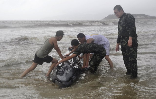 Paramilitary policemen try to help a stranded whale back into the ocean as Typhoon Rammasun hits Yangjiang, Guangdong province July 19, 2014. The whale was successfully returned to the ocean after two hours from efforts by the local police forces, local media reported. The super typhoon has killed at least 14 people in China since making landfall on Friday afternoon, state media said on Saturday, after hitting parts of the Philippines and leaving 77 dead. (Photo by Reuters/Stringer)