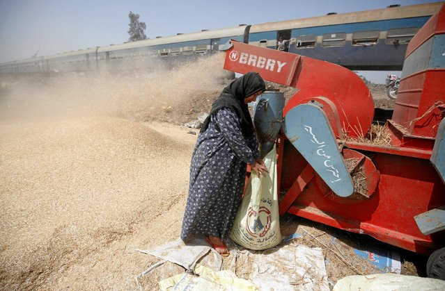 A woman gathers wheat grains in bags from threshing machine as they harvest their wheat crop in Qaha, El-Kalubia governorate, northeast of Cairo, Egypt May 5, 2016. (Photo by Amr Abdallah Dalsh/Reuters)
