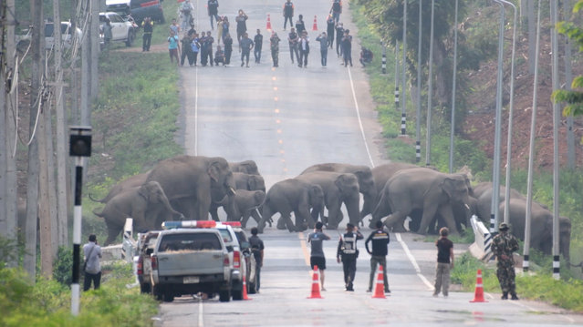 The group of elephants was tracked though nearby jungle by wildlife officers in Chachoengsao, Thailand on April, 2020. More than 50 wild elephants crossed the highway. (Photo by Pratya Chutipat Sakul/Viral Press)