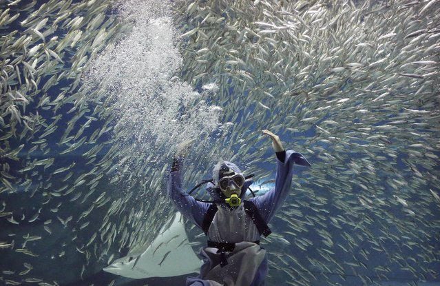 A diver performs with sardines as part of summer events at the Coex Aquarium in Seoul, South Korea, Friday, July 29, 2016. The aquarium features 40,000 sea creatures from over 600 different species. (Photo by Ahn Young-joon/AP Photo)