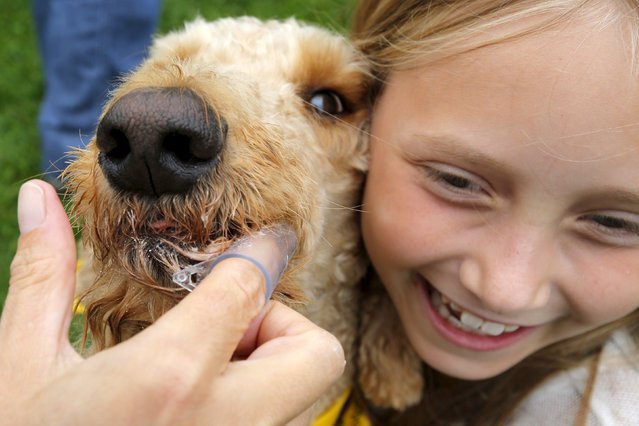 Nine year-old Marlena Ball holds on as Winthrop Hatfield Ball gets his teeth brushed as part of an effort  to set a Guiness World Record for most people brushing dogs teeth simultaneously at the Somerville Dog Festival in Somerville, Massachusetts September 13, 2015. (Photo by Brian Snyder/Reuters)