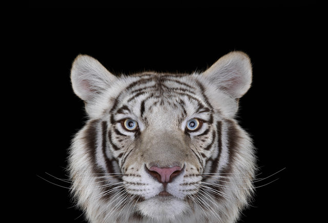 White Tiger. (Photo by Brad Wilson/Caters News)