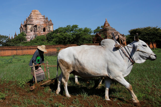 A woman works with a plow as a damaged pagoda is seen in the background after an earthquake in Bagan, Myanmar August 25, 2016. Using brooms and their hands, soldiers and residents of an ancient Myanmar city famous for its historic Buddhist temples began cleaning up debris Thursday from a powerful earthquake that shook the region and damaged nearly 200 pagodas. At least four people were killed and at least 171 pagodas were damaged in Bagan after a 6.8 magnitude quake struck the area on Wednesday. The tremor was centered about 25 kilometers (15 miles) west of Chauk, just south of Bagan. The city is one of Myanmar's top tourist attractions, drawing visitors from all over the world who can view a panorama of temples stretching to the horizon flanked by the Irrawaddy River. (Photo by Soe Zeya Tun/Reuters)