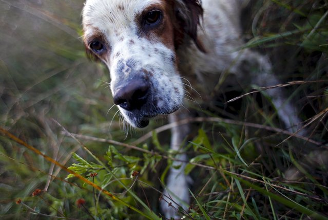 """Argo"", a male English setter, is seen pointing during the first day of the Italy hunting season in Castell'Azzara, Tuscany, central Italy, September 20, 2015. (Photo by Max Rossi/Reuters)"