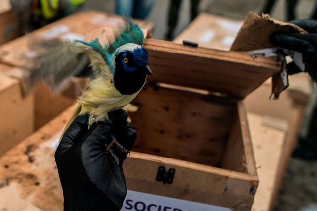 A biologist holds a Magpie Querrequerre (Cyanocorax yncas) as 107 animals rescued from illegal wildlife trading rings and rehabilitated by the environmental agency CVC, are loaded into a Colombian Air Force plane to be transported to the north of the country for their release back into the wild, on December 12, 2017, at Marco Fidel Suarez Air Base in Cali, Colombia. The illegal trade of wildlife is considered as one of the main causes of the decline of natural populations worldwide. (Photo by Luis Robayo/AFP Photo)