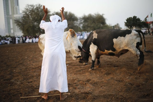 A man raises his hands to announce the end of a bullfight between two bulls in the eastern emirate of Fujairah October 17, 2014. (Photo by Ahmed Jadallah/Reuters)