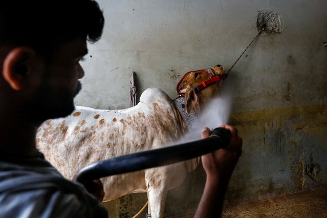 A worker uses a pressure hose on a bull during a spray wash, at an automobile service station, ahead of the Muslim festival of sacrifice Eid al-Adha, as the coronavirus disease (COVID-19) outbreak continues, in Karachi, Pakistan on July 30, 2020. (Photo by Akhtar Soomro/Reuters)