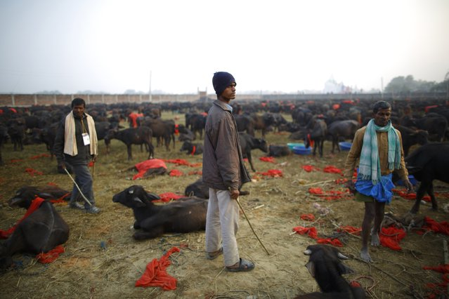 "Herders work inside an enclosure for buffalos awaiting sacrifice on the eve of the sacrificial ceremony for the ""Gadhimai Mela"" festival in Bariyapur November 27, 2014. (Photo by Navesh Chitrakar/Reuters)"