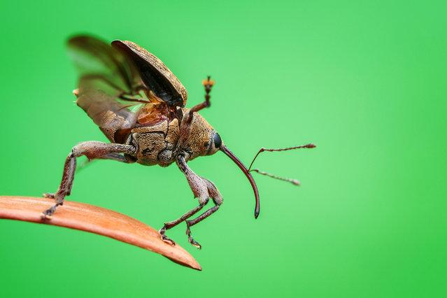 Beetles category winner: 3 … 2 … 1 ... Takeoff!, by Christian Brockes. An acorn weevil (Curculio glandium) takes flight. (Photo by Christian Brockes/Luminar Bug Photographer of the Year 2020)