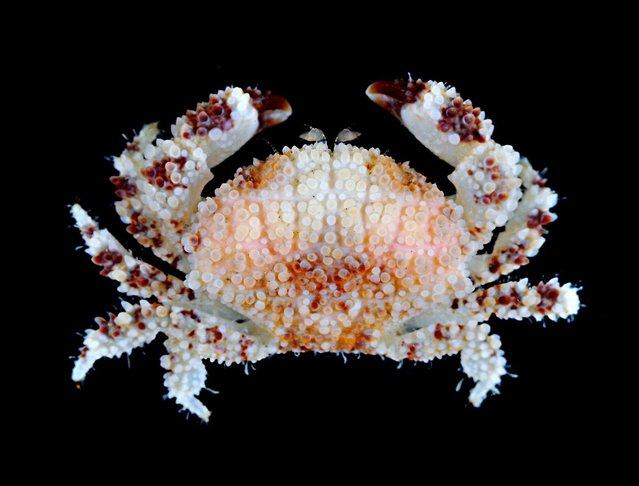 Xanthid crab (Epiactaea nodulosa); CMBS, Singapore. (Arthur Anker)